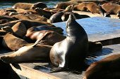 stock photo of sea lion  - Genuine Wild California sea lions AKA Zalophus californianus Lounge in the sun on docks in the harbor of Pier 39 in San Francisco California - JPG