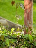 foto of english ivy  - Poison ivy plants growing out of a patch of English ivy - JPG