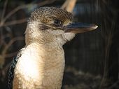 stock photo of blue winged kookaburra  - blue winged kookaburra - JPG