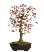 stock photo of trident  - Trident Maple bonsai tree - JPG