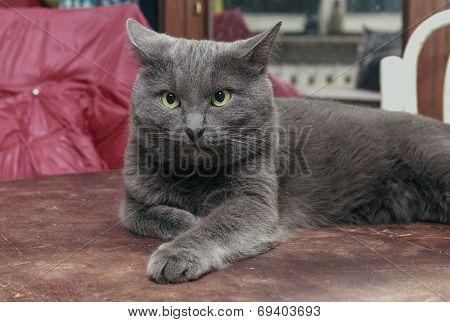 Grey Cat In Disbelief
