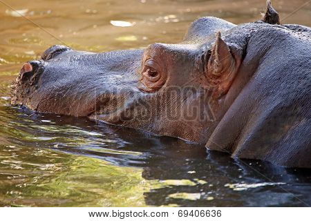 Hippopotamus In Water, Its Natural Habitat