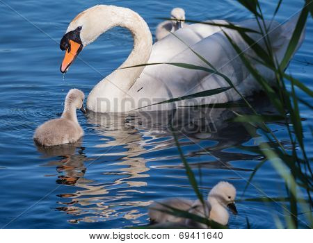 Mute swan and young family
