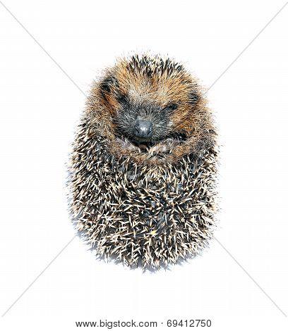 Forest Hedgehog Lying