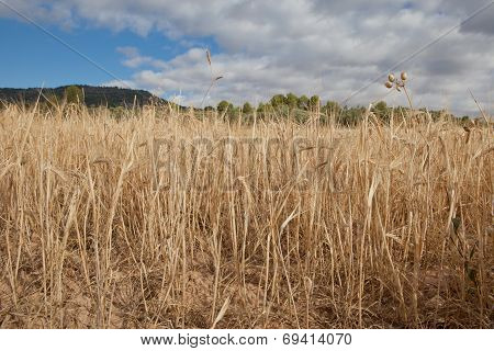 Alcarria Cereal Fields