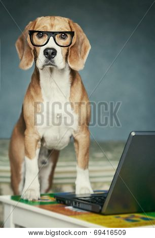 Nosy Beagle In Glasses Near Laptop