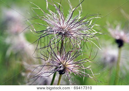 Pulsatilla Vulgaris Seedhead