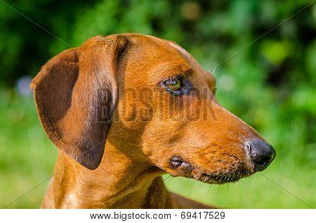Portrait Of Dachshund Dog At Park
