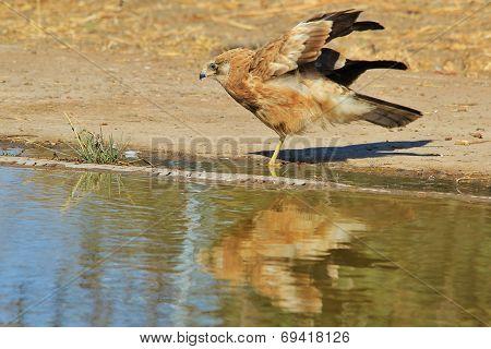 Gymnogene - African Wild Bird Background - Raptor Plumage