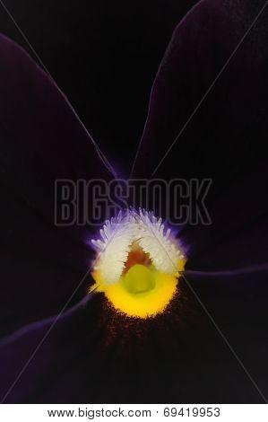 Dark Purple Pansy Violet Flower Macro