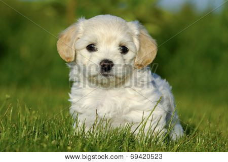 A Bichon Havanais puppy resting in the sun