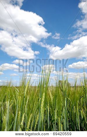 Corn field with blue and cloudy sky in the background.
