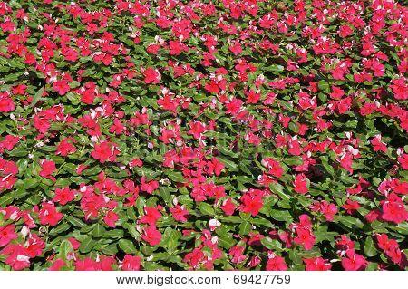 Vinca rosea blossom