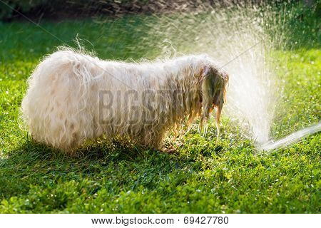 Happy Havanese Dog Is Playing With A Water Beam