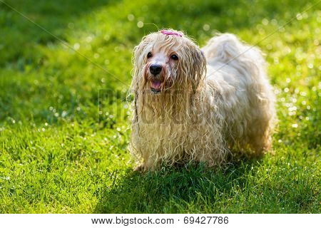 Wet Playful Havanese Dog Is Waiting For A Water Beam