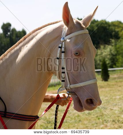 Portrait Of Akhal-teke Horse
