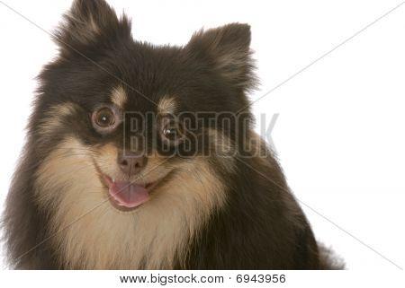 Pomeranian Panting