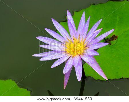 Lotus  Flower Beautiful Water Lily