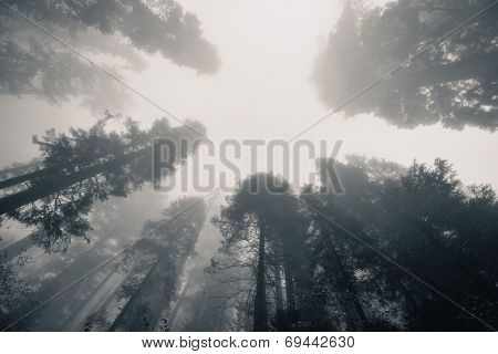 Giant tree in fog in Sequoia National Park