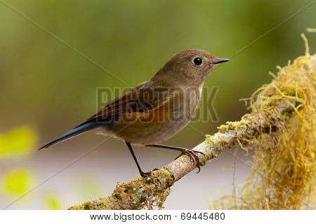 Female Himalayan Bluetail Or Himalayan Red-flanked Bush-robin (tarsiger Rufilatus)