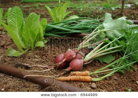 Vegetable garden - mixed vegtables