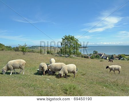 Flock of Sheep,Ruegen Island,Germany