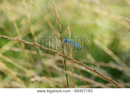 Common Damselfly Eating A Fly