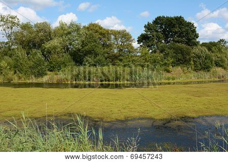Thick Green Weed And Algae Covering A Pond