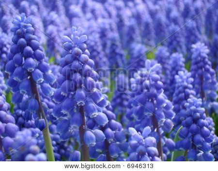 Muscari Armeniacum Or Grape Hyacinth In Spring Garden 'keukenhof', Holland