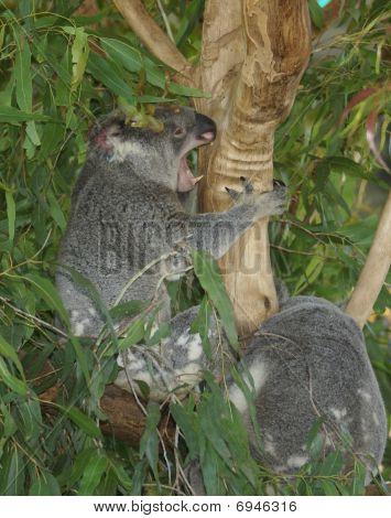Koala Having A Rare Showing Of Teeth (australian Zoo, Queensland Australia)