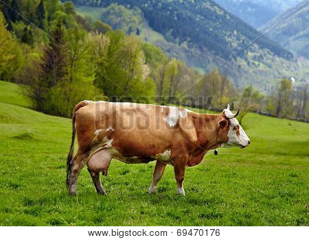 Healthy Cow In Mountains