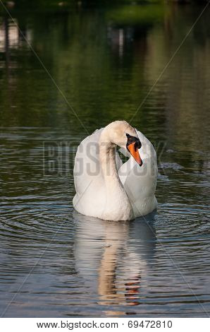 White Swan Swimming On A River