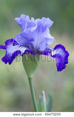 Purple and Blue Tall Bearded Iris