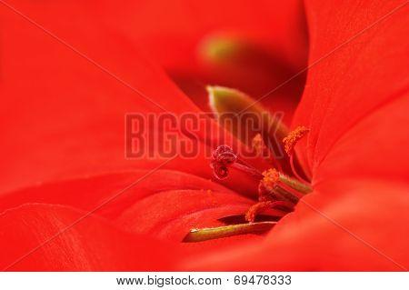 Red Pelargonium Hortorum Or Geranium Flower Macro