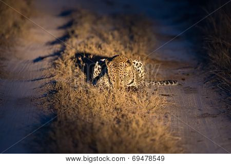 Lovely Female Leopard In Nature Night In Darkness