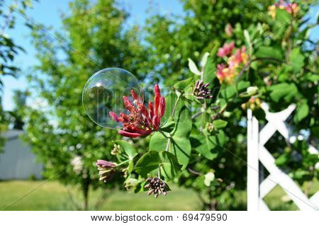 Bubble on Honeysuckle Flowers