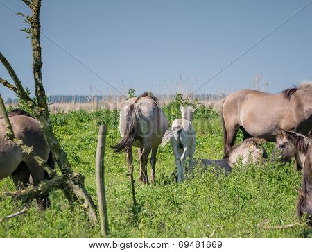 Adult Konik horse and foal
