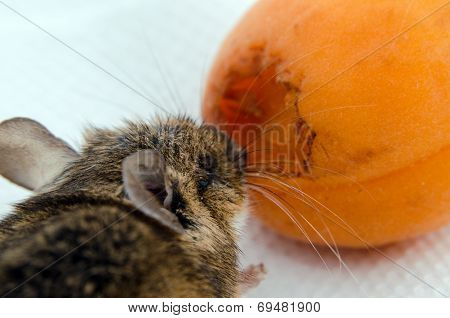 Mouse nibbling apricot