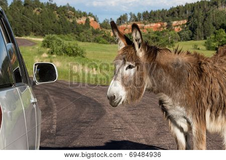 Friendly Wild Burro
