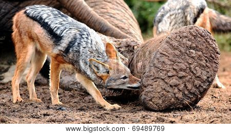 Black Backed Jackal At Elephant Carcass
