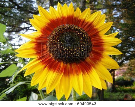 Two Toned Sunflower
