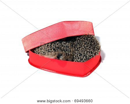 Two Small Forest Hedgehogs In A Red Gift Box In Heart Shape
