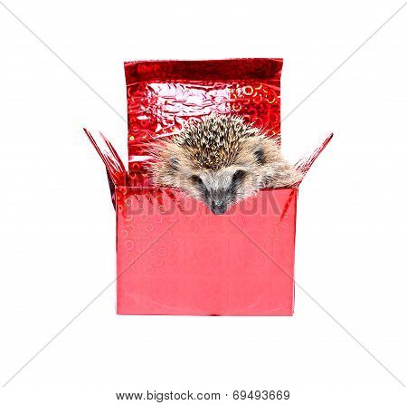 Little Hedgehog In A Gift Box