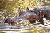 stock photo of sub-saharan  - A hippopotamus  - JPG