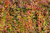 stock photo of creeper  - Parthenocissus quinquefolia or Virginia creeper plant changing the color of its leaves in autumn - JPG