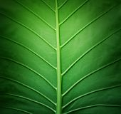 pic of photosynthesis  - Close up of green palm leaf background  - JPG