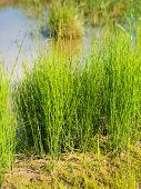picture of horsetail  - Closeup of young Field Horsetail or Equisetum arvense plants in their natural habitat on the waterfront - JPG