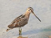 pic of snipe  - Common snipe looking for food in its habitat - JPG
