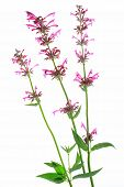 pic of hyssop  - Mexican giant hyssop  - JPG