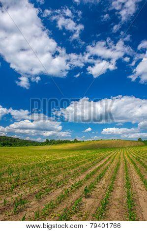 Rows Of Corn Plants Growing In The Field Under Blue Sky